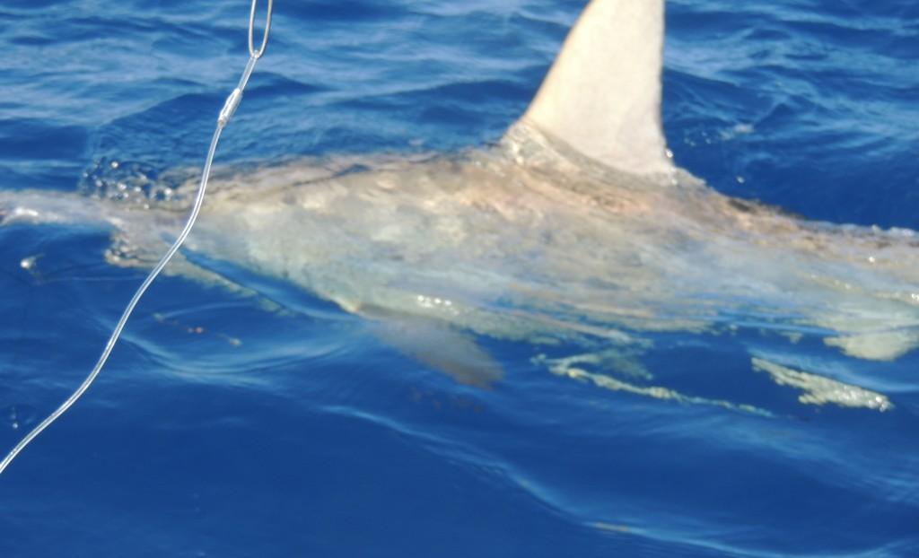 Hammerhead shark in the water