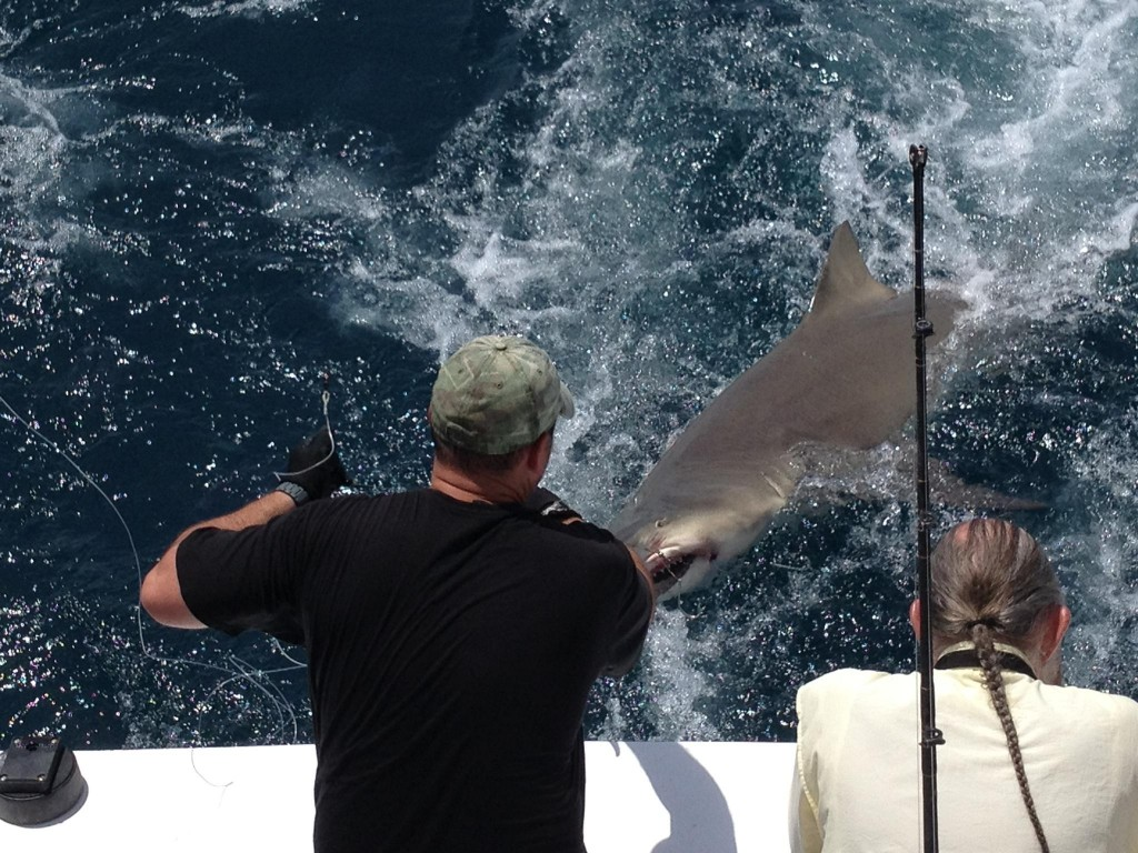 Handlining the leader on a 400 pound dusky shark behind the boat
