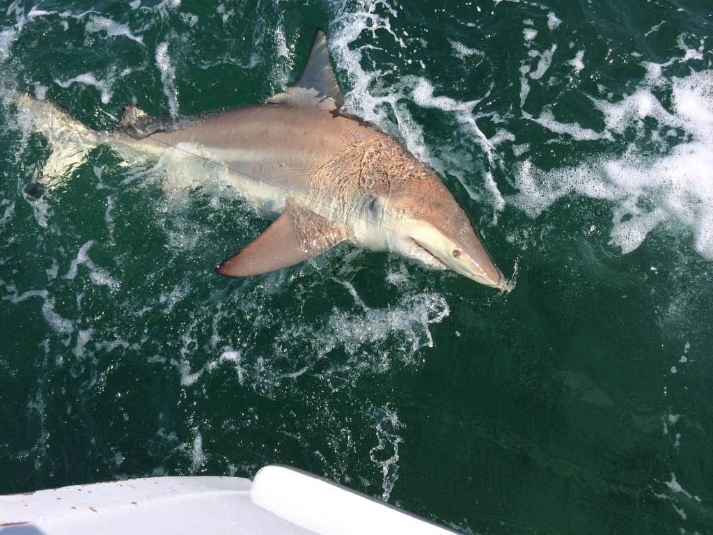 Big spinner shark next to the boat
