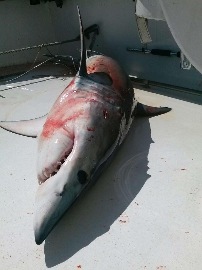 Nice mako shark just caught