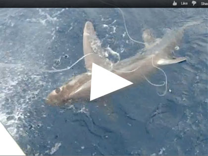 thresher shark fishing