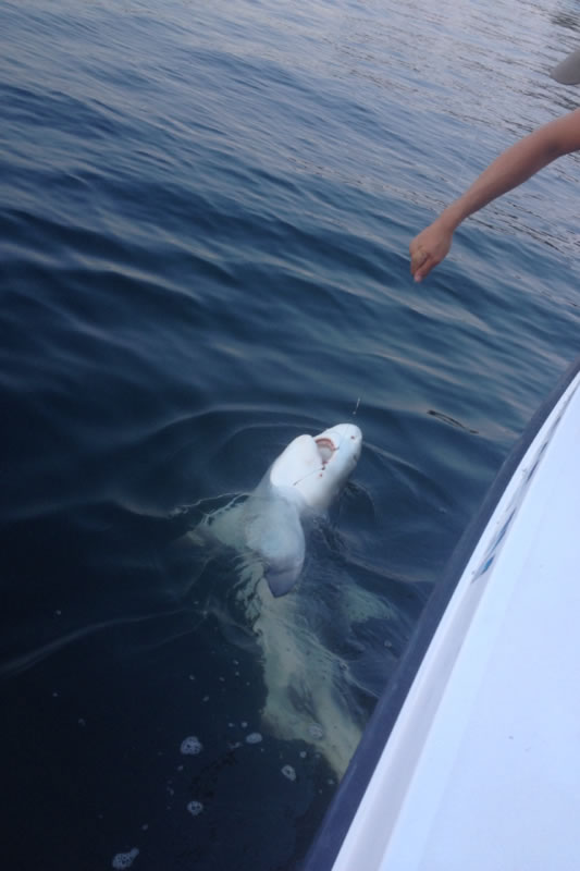 Nice shark catch