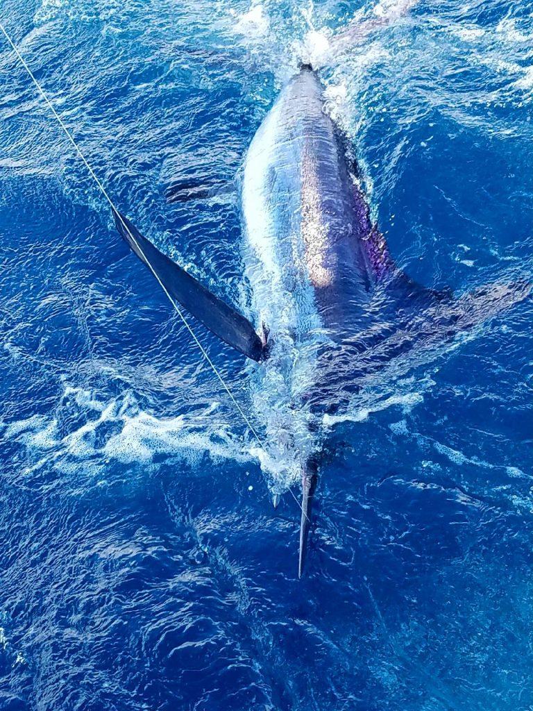 Very rare white marlin caught on our sportfish charter. Photo by Shazana Amanda Hardy.